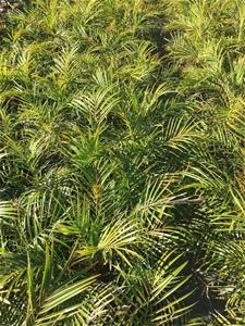 2 x Dwarf Date Palm - Phoenix Roebelenii