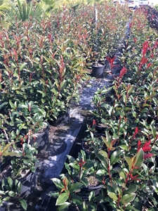1 x Photinia- Red robin
