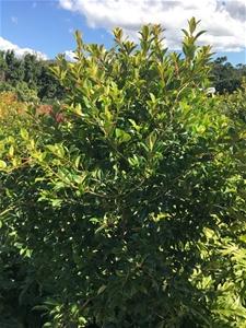1 x Ficus Microcarpa – Hillii