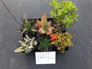 3 x Succulents