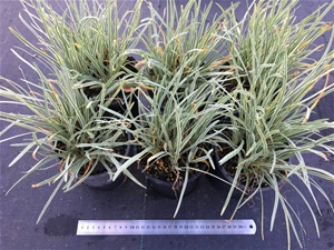 6 x Tulbaghia - Society Garlic variegate