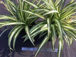 2 x Chlorophytum – Ribbon Plant