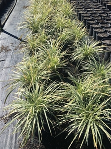 3 x Stripey White – ophiopogon intermedi