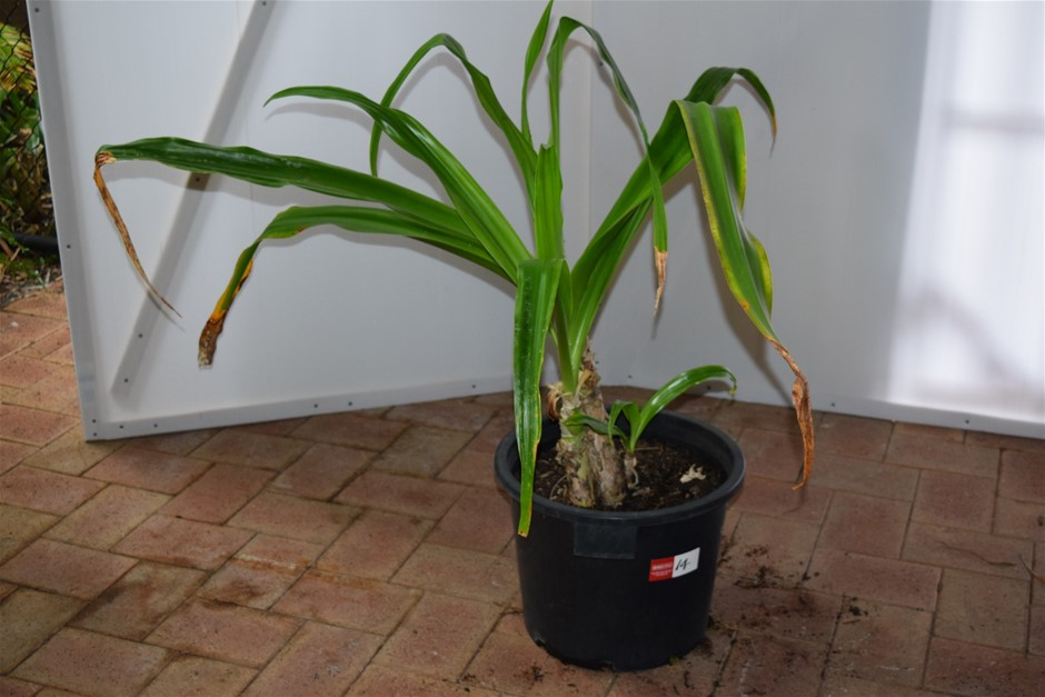 """Crinum"" Plant in 400ml Pot"