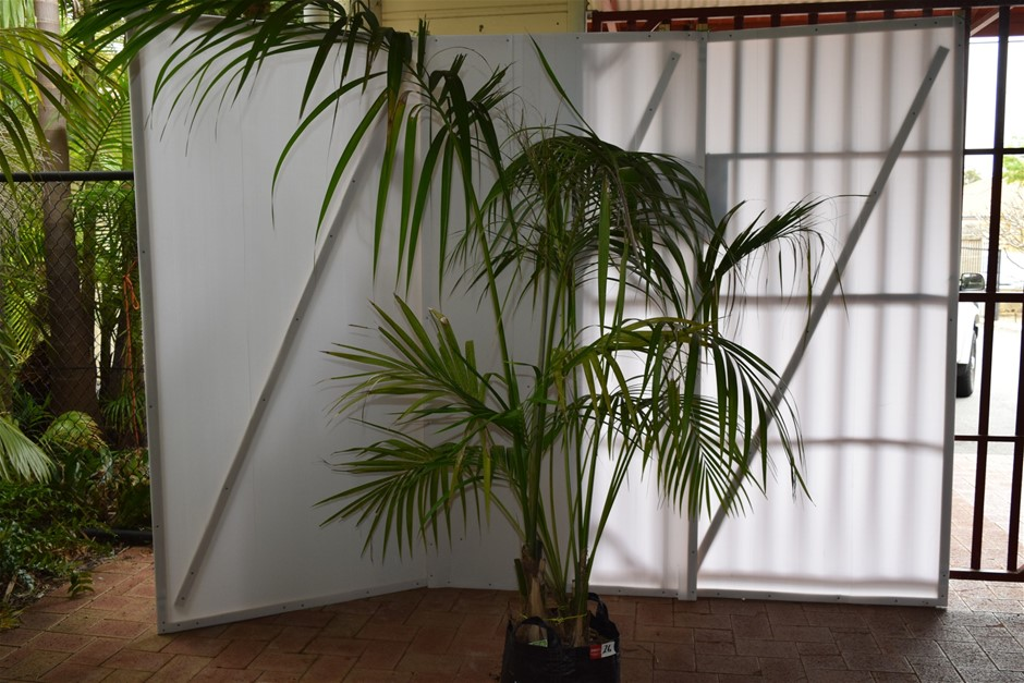 Approximately 7 Foot Kentia Palm In 45 Litre Pot
