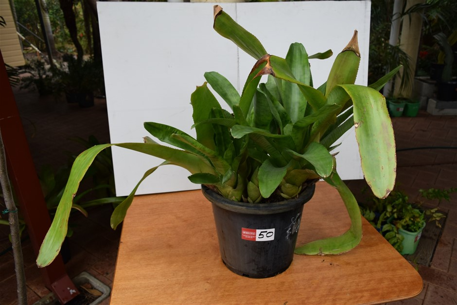 "Large ""Bromeliad"" In 300ml Pot"