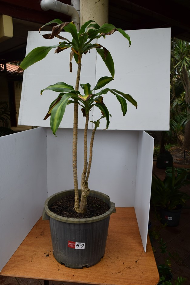 """Dracaena Massangeana Variegated"" In 400ml Pot"
