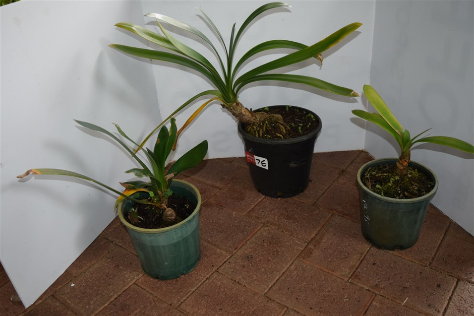 "Lot of 3 Assorted ""Bromeliads"" in 220ml Pots"