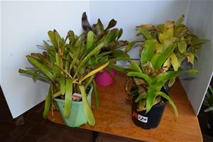 "Lot of 4 ""Bromeliads"" in 200ml Pots"