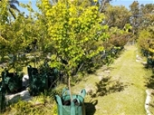 Unreserved Mature Trees Clearance Sale (Lexia WA)