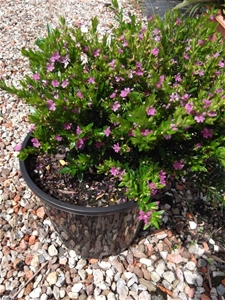 Cuphea pink 200mm pot low growing shrub pink flowers full sun cuphea pink 200mm pot low growing shrub mightylinksfo